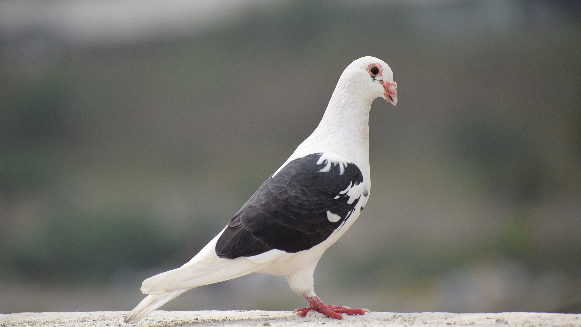 1920px-Pigeon_Black_and_White